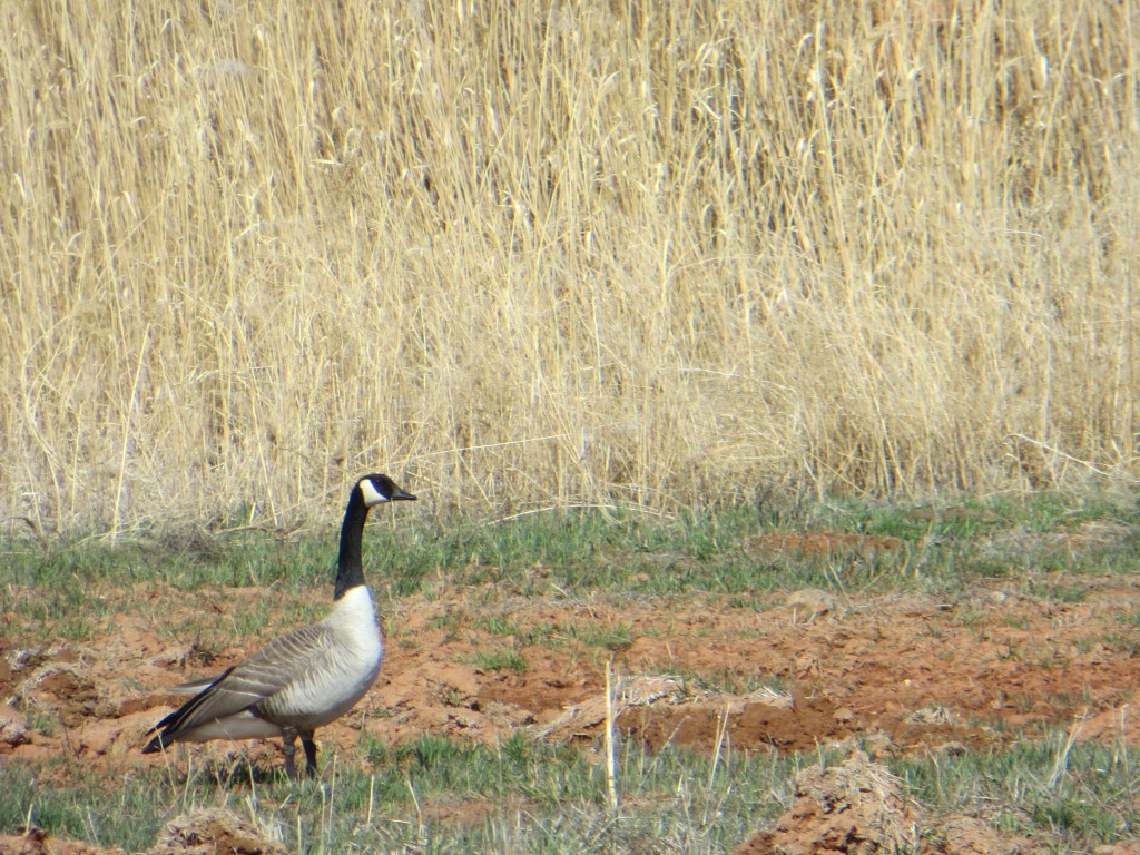 Canada Goose in Wyoming