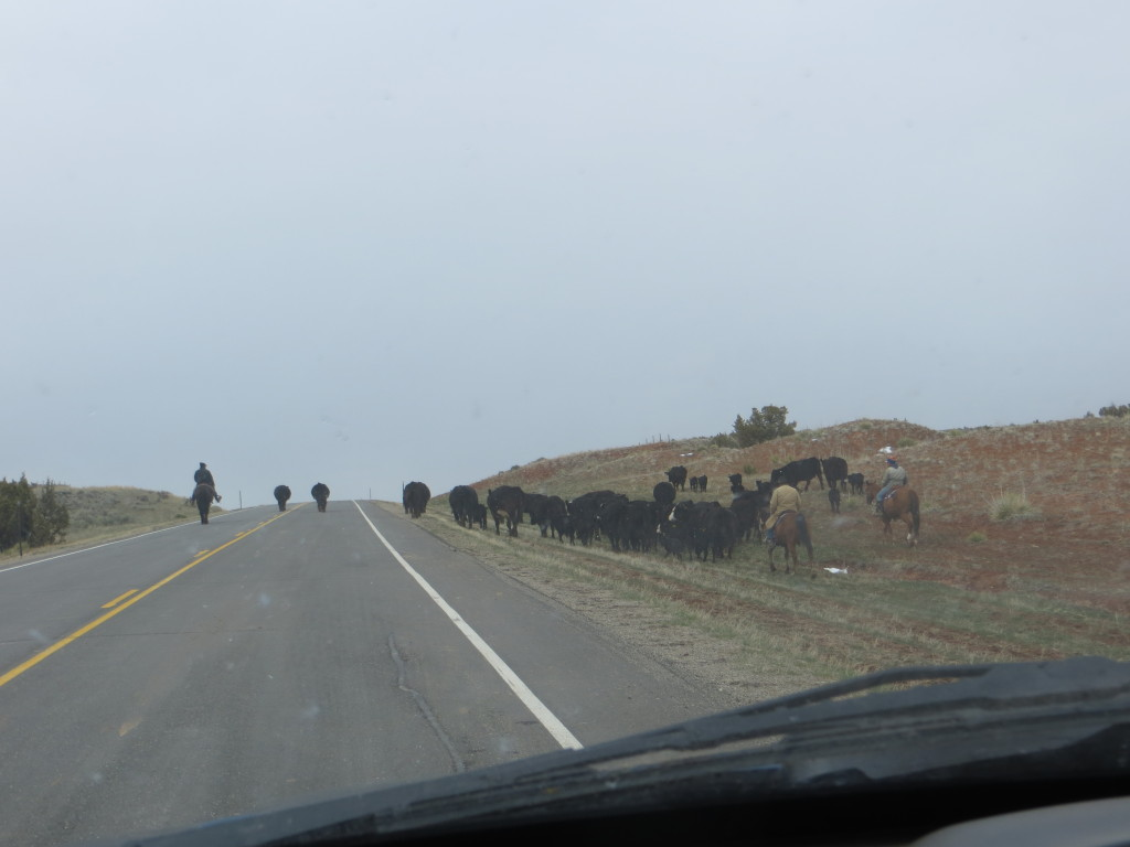 cattle drive down highway