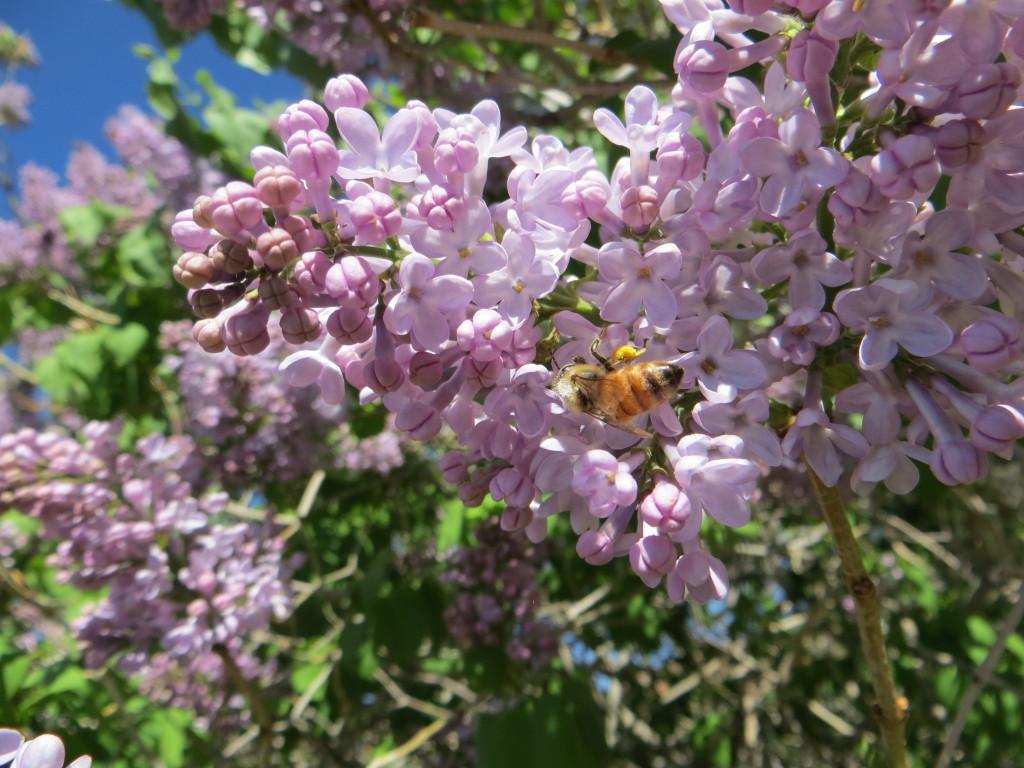 honeybee on lilac