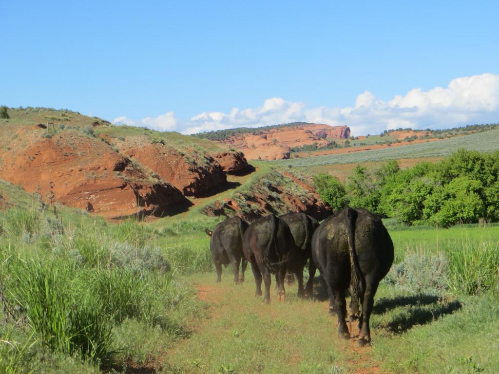 trailing bulls