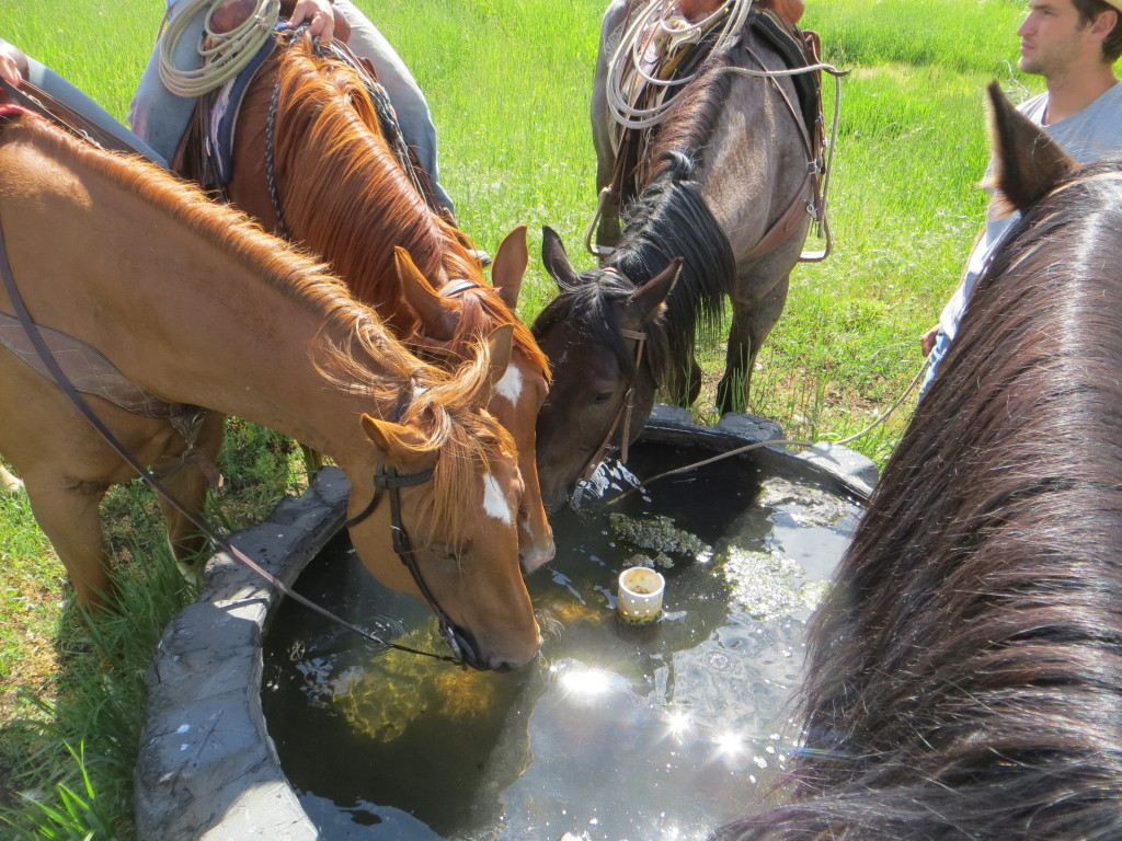 thirsty horses