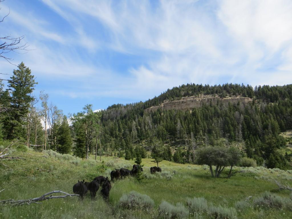 cattle drive through aspens