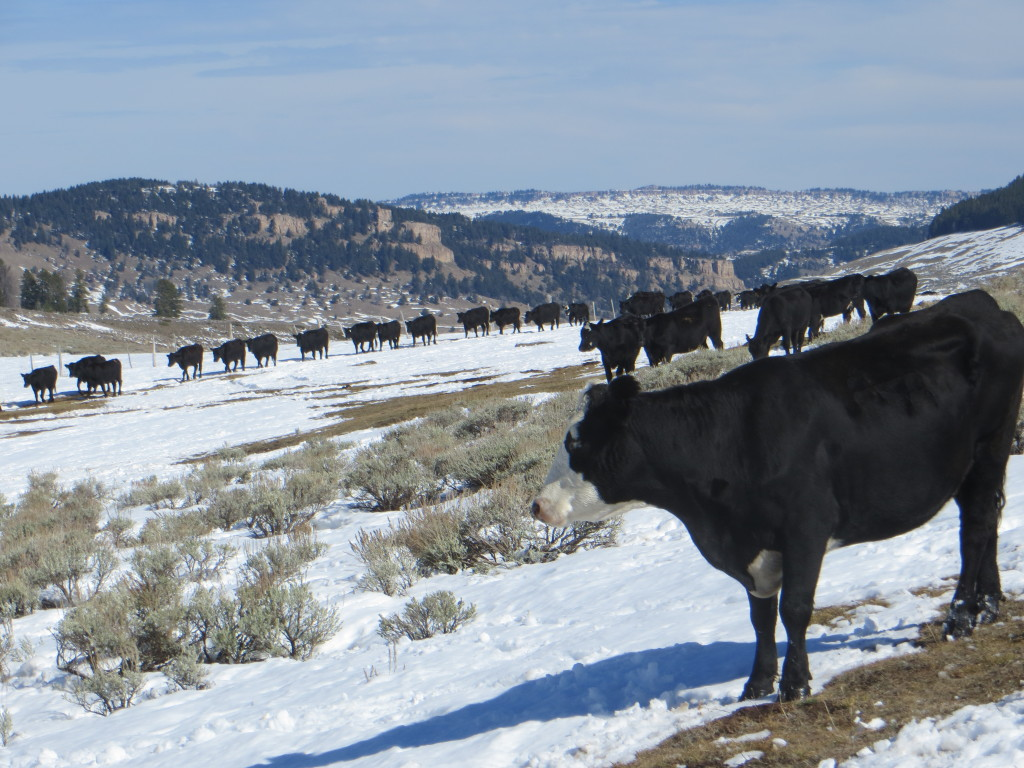 cattle out of snow