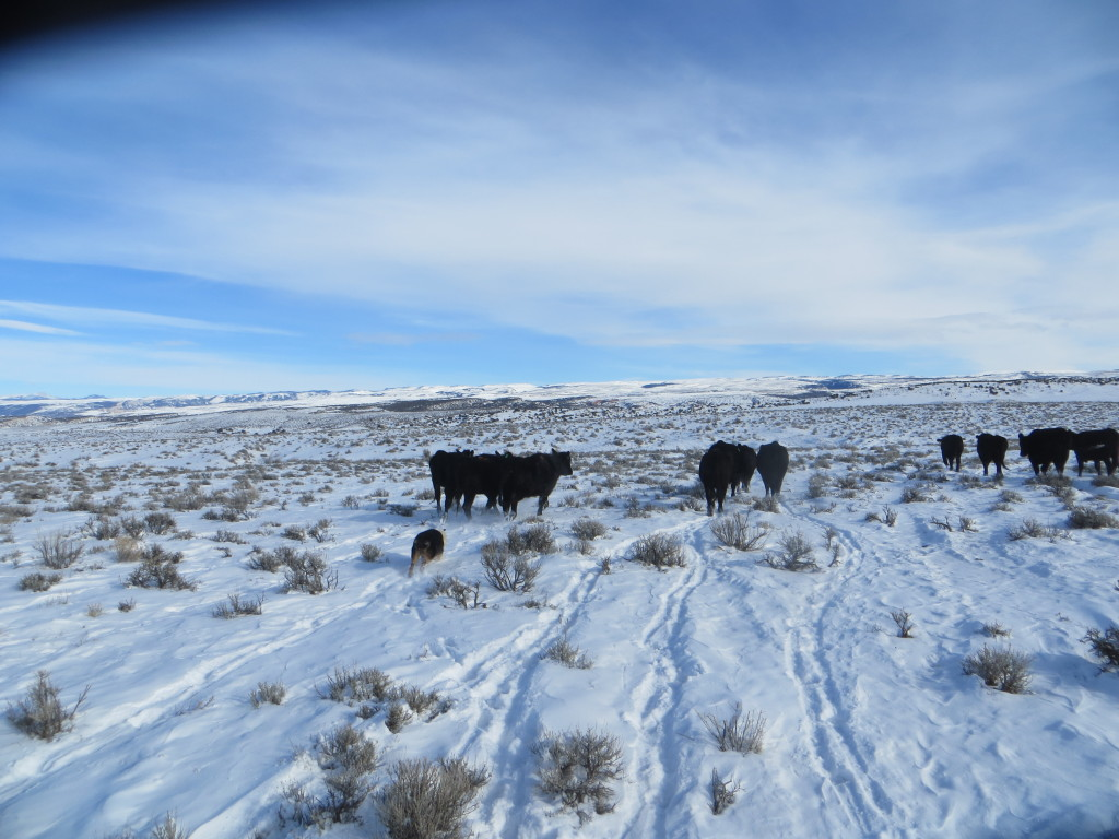 moving cattle