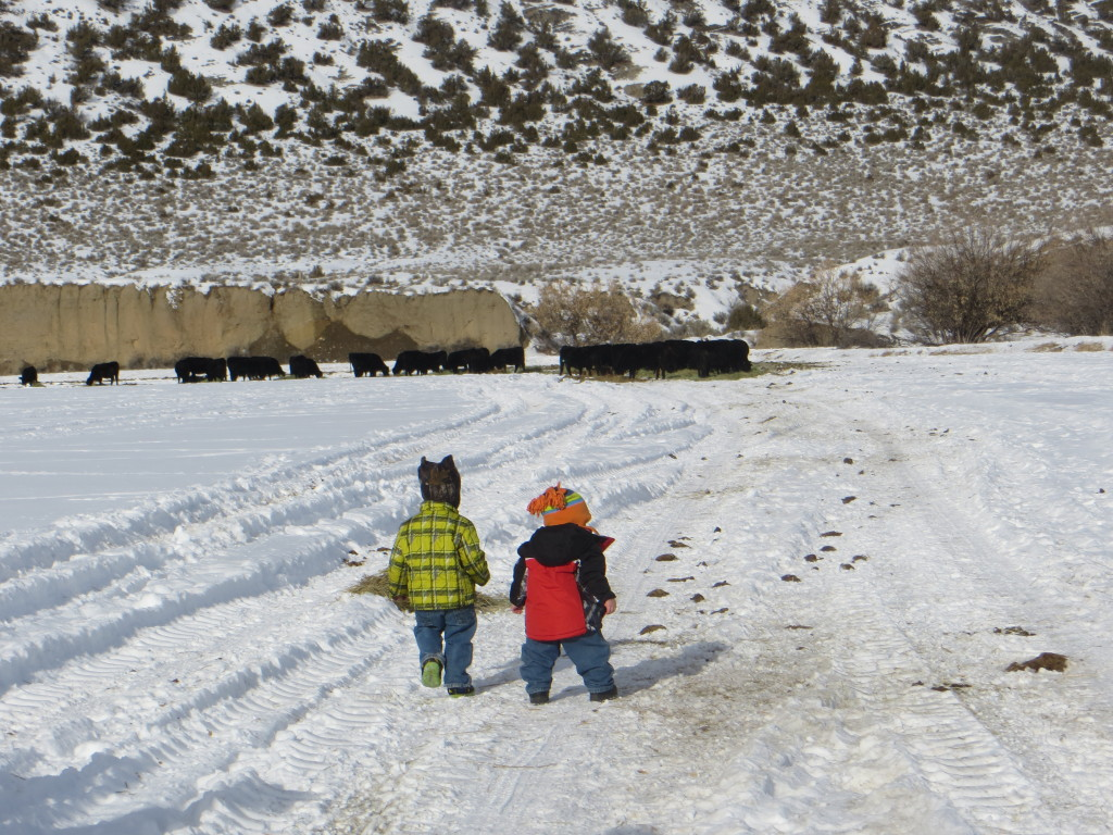 headed for cows