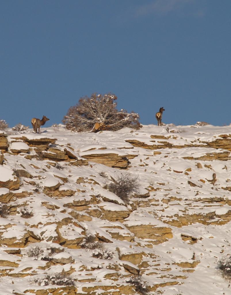 rimrock elk