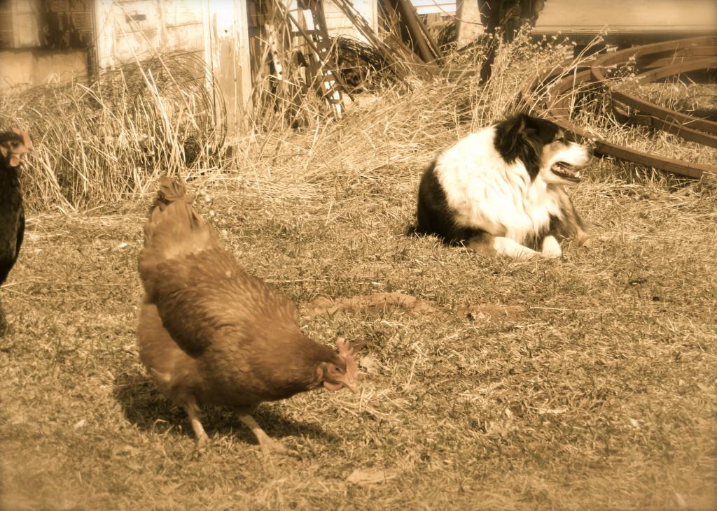 Dally chickens