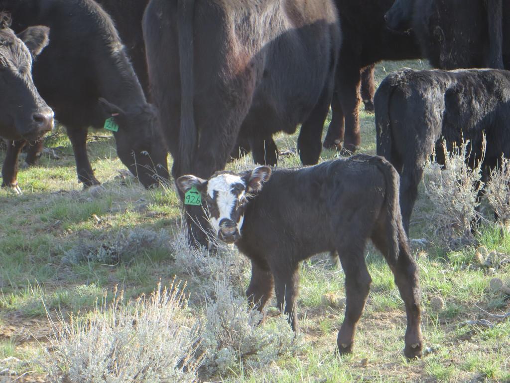 bum calf