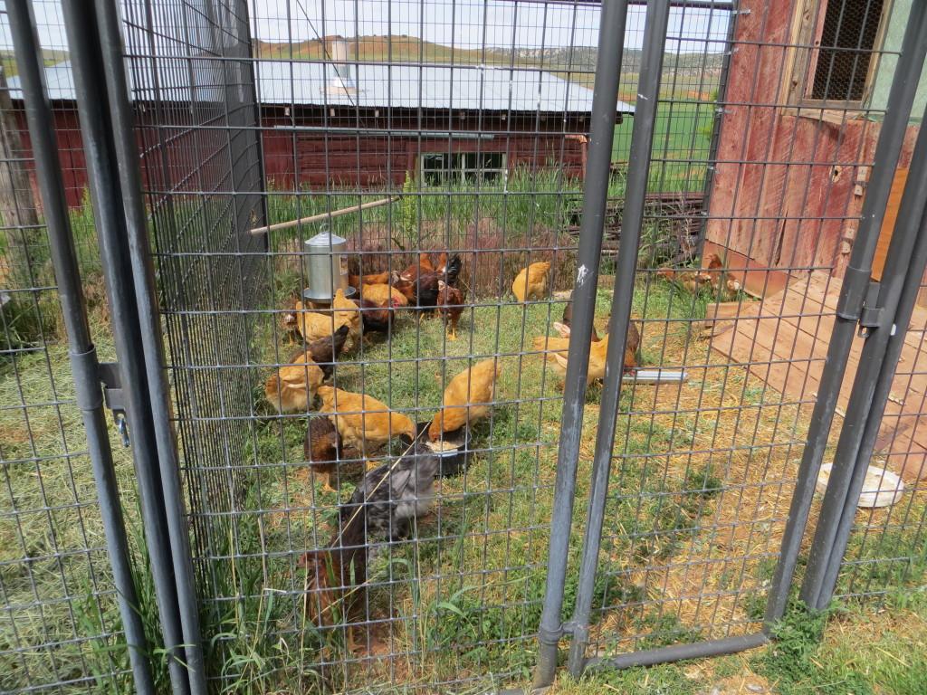 chicken kennel