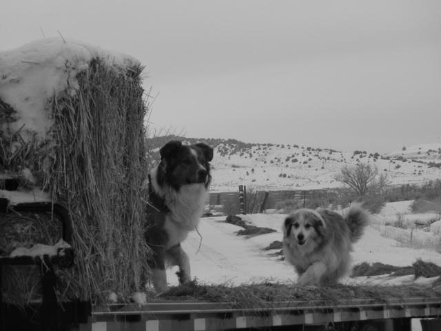 haydogs