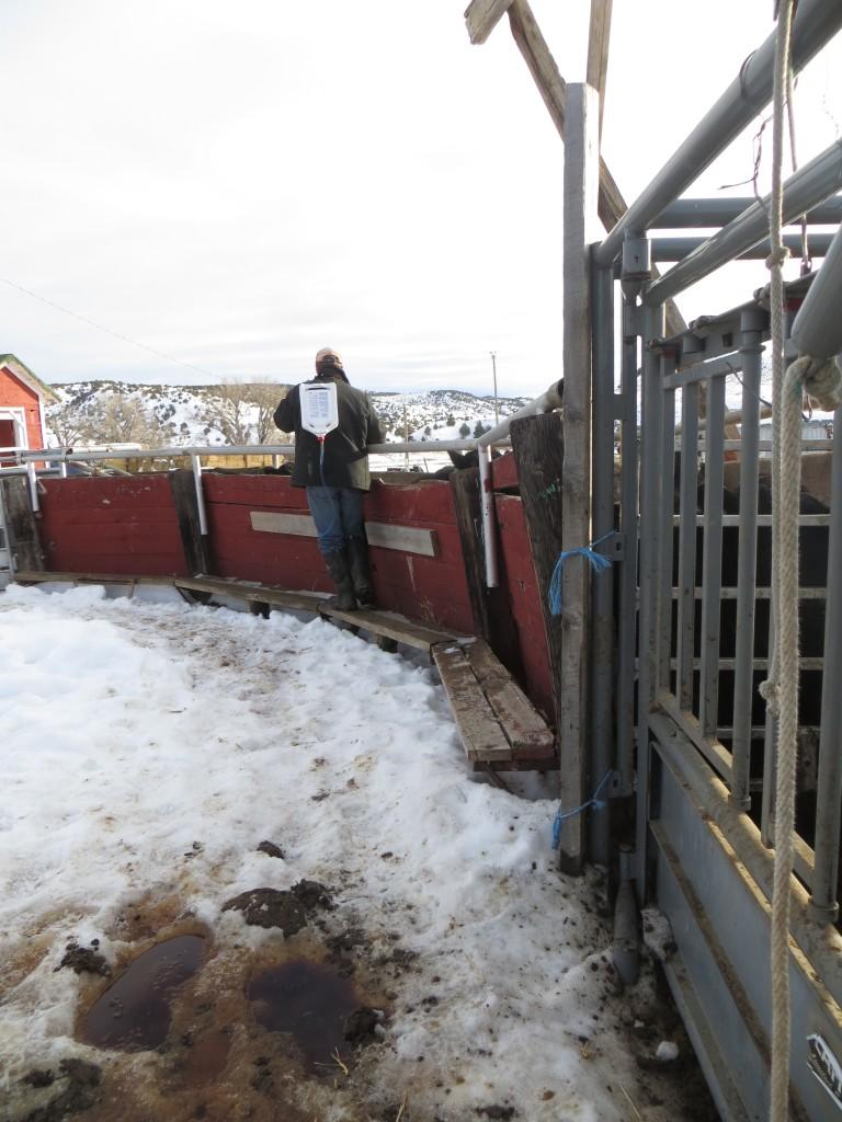 worming steers