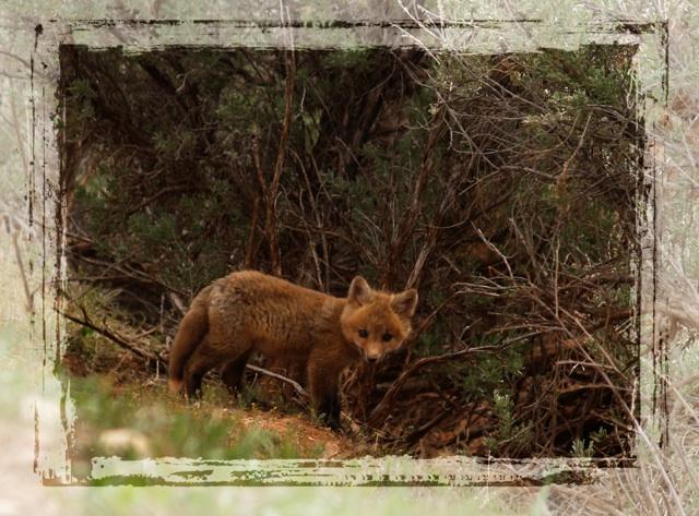 foxaw