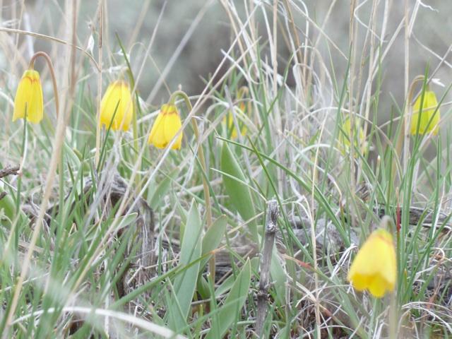 yellowbells