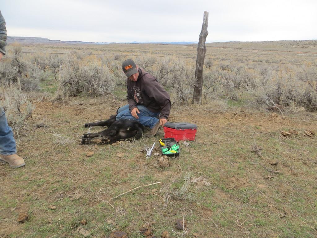 tagging calf 2