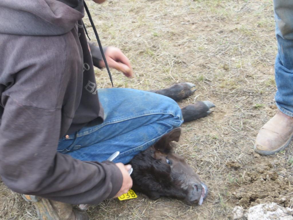 tagging calf