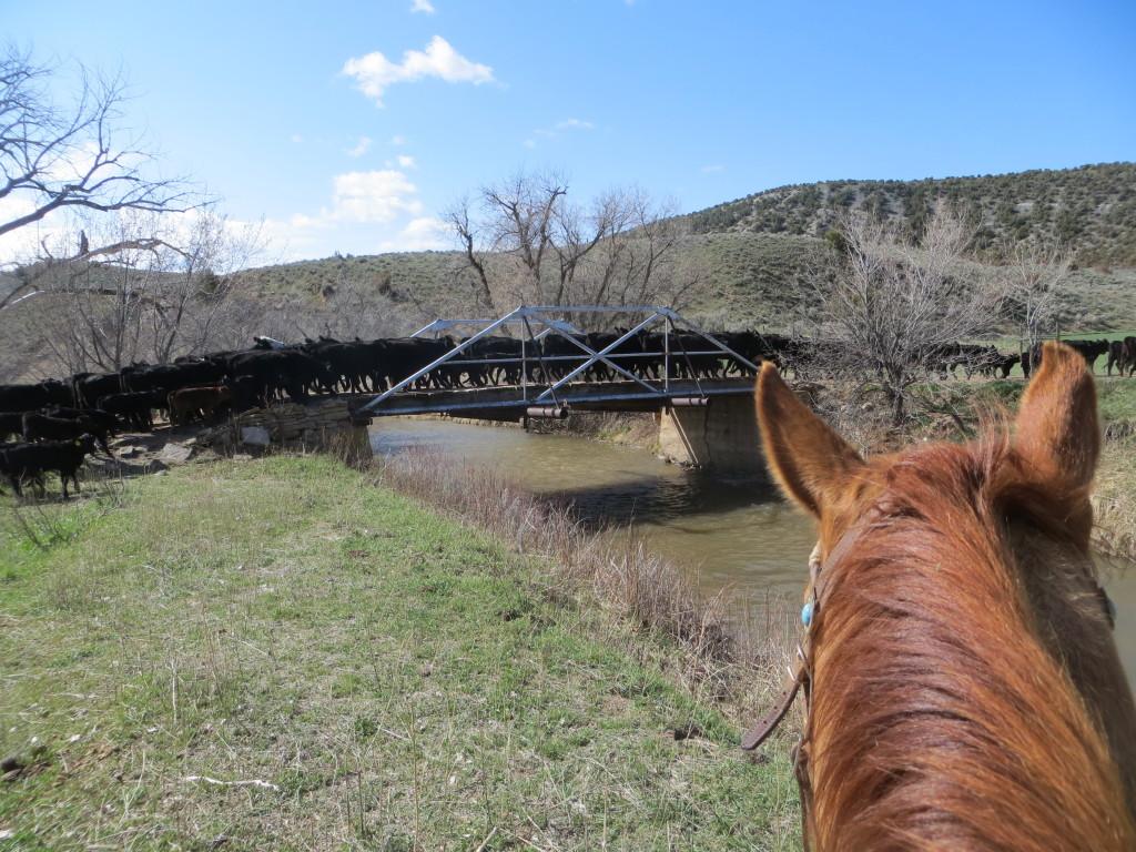 cows crossing bridge