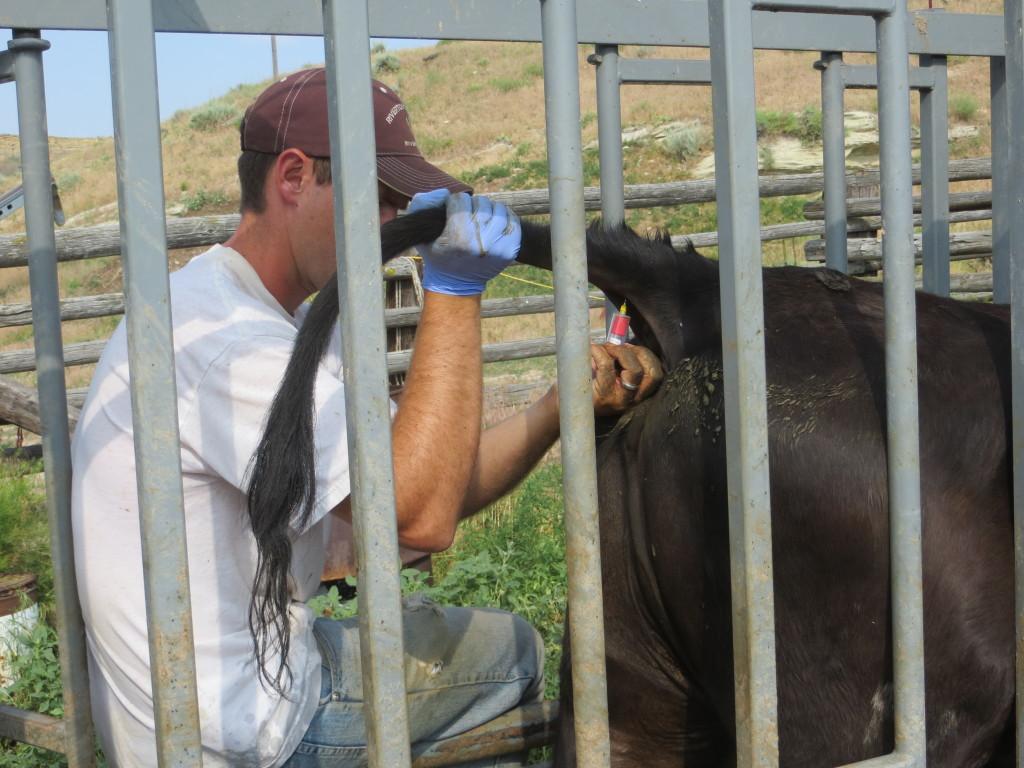 bleeding heifers