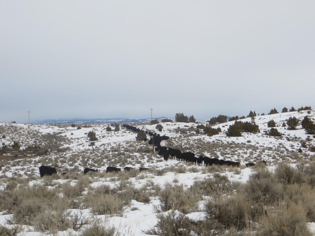 trailing cows