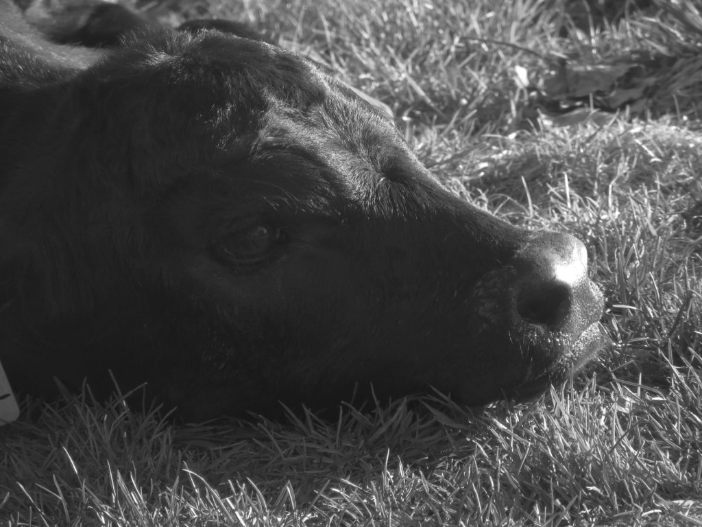 IV calf