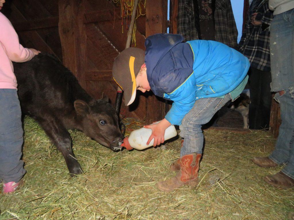 bottle calf