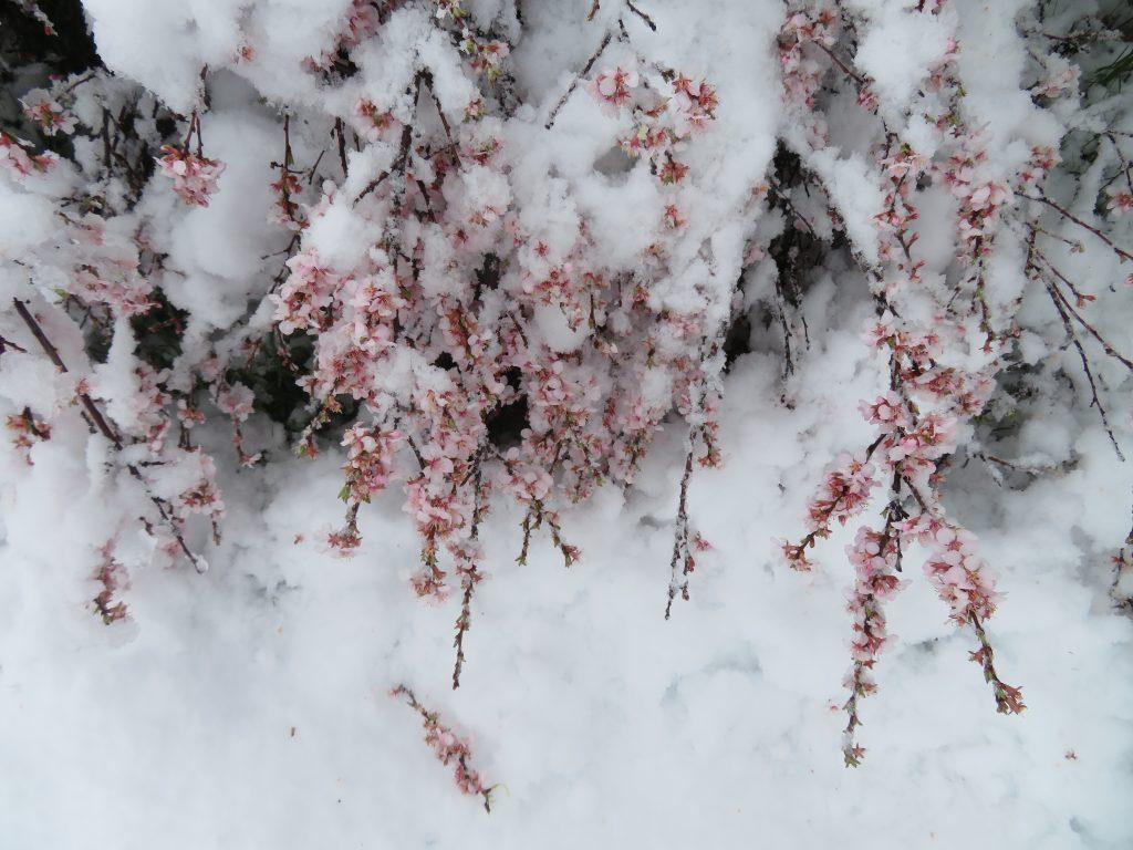 cherry bushes