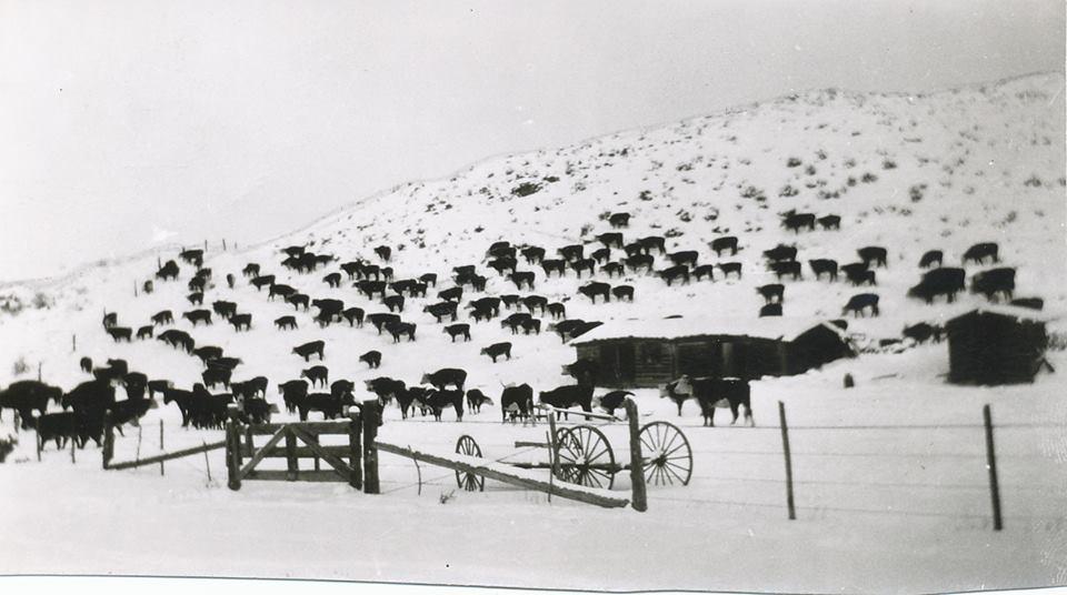 wintercows