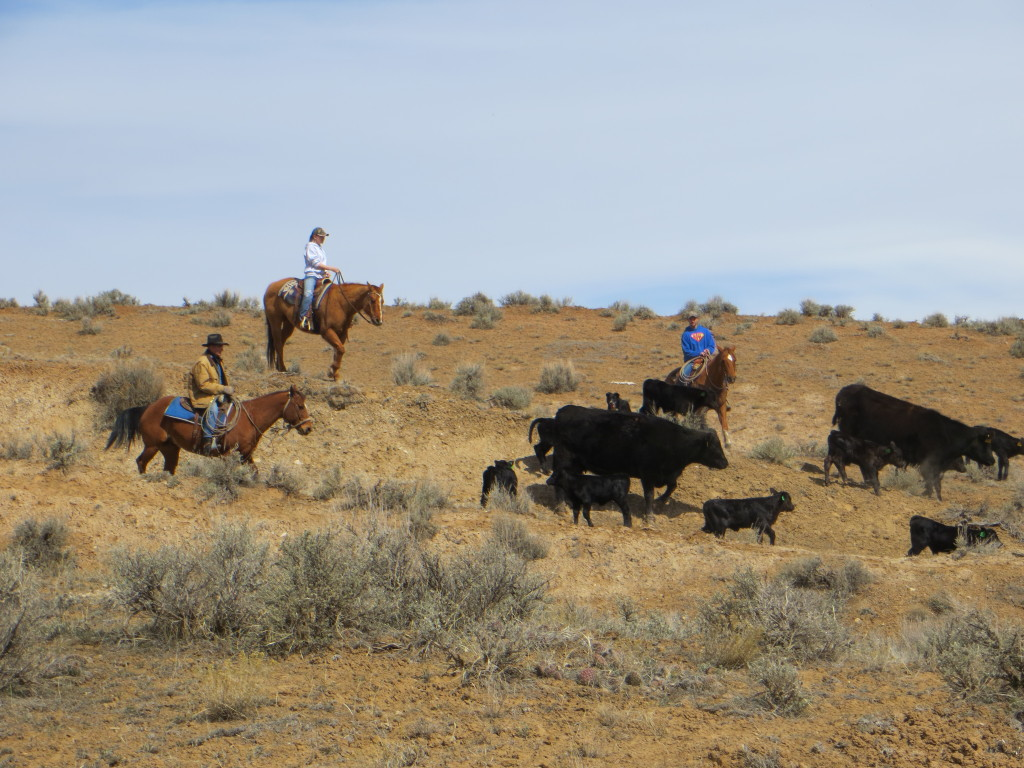 cattle drive6