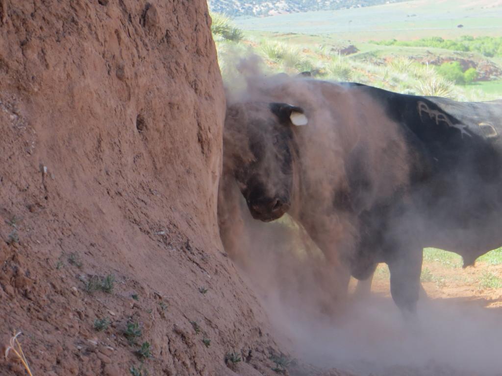 bull itch