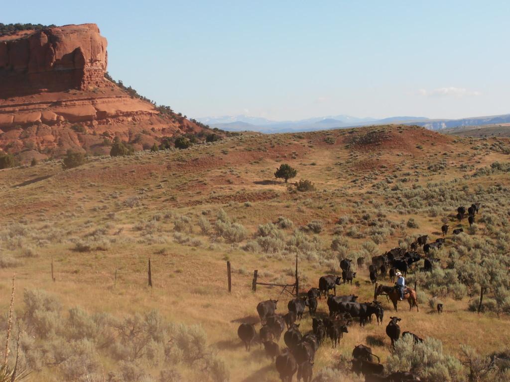 cowboy trailing cattle