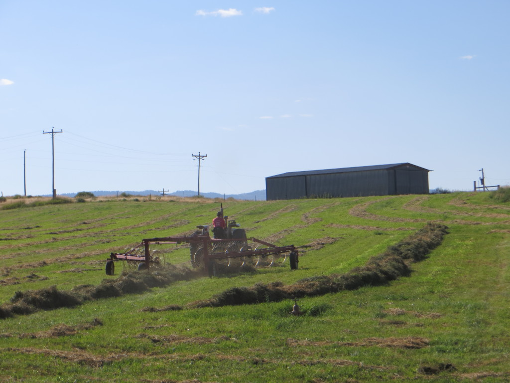 raking alfalfa hay