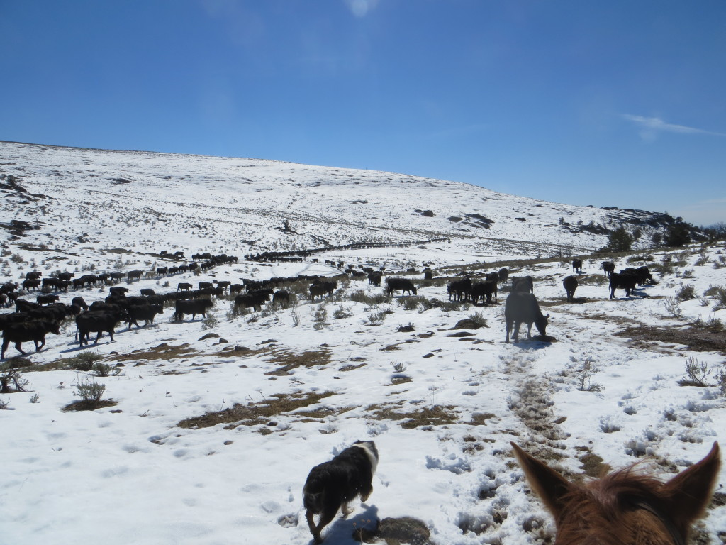 cattle headed downhill