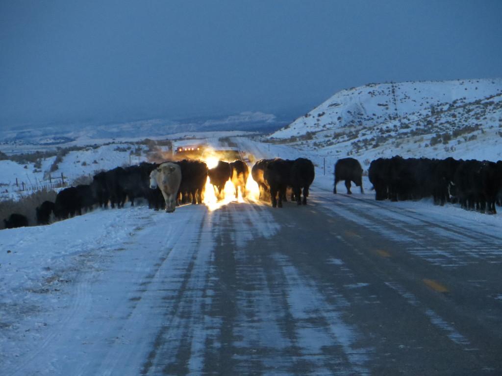 dark cattle