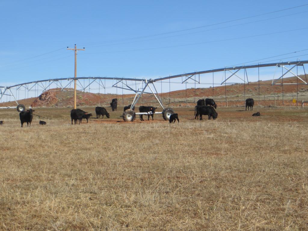 escaped cows