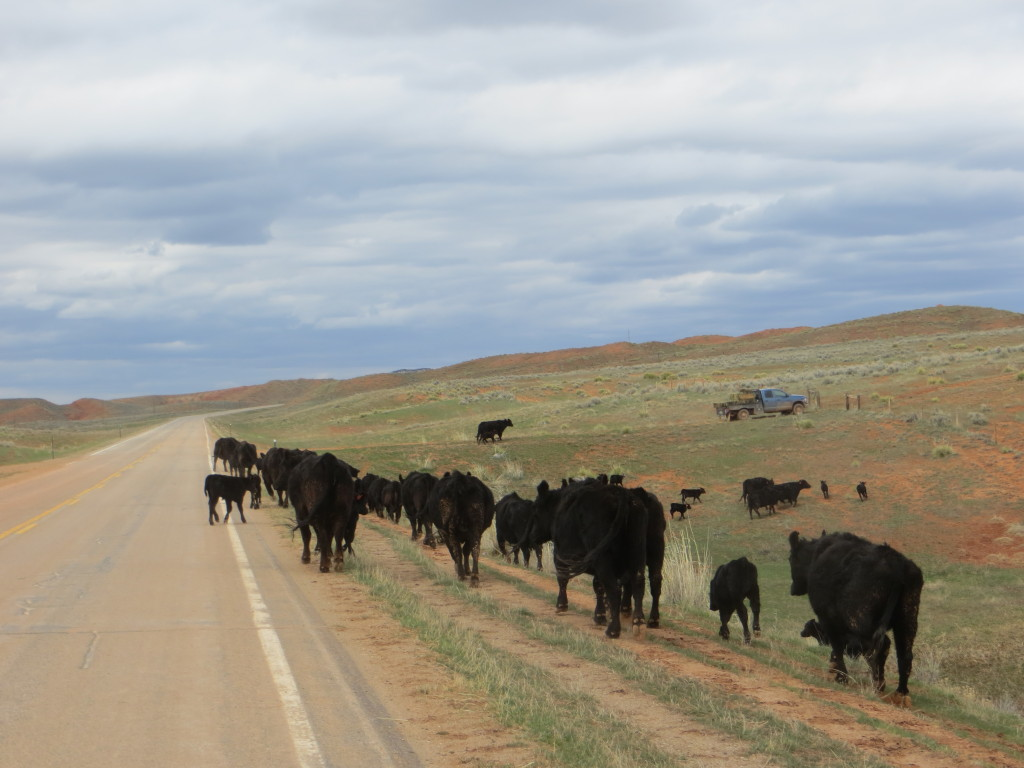 moving cows