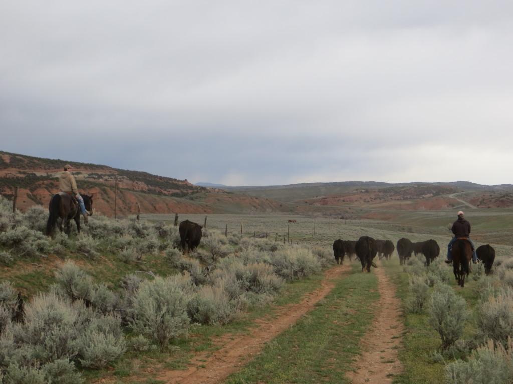 moving bulls