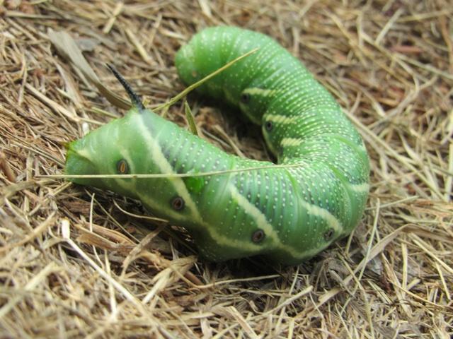 thworm
