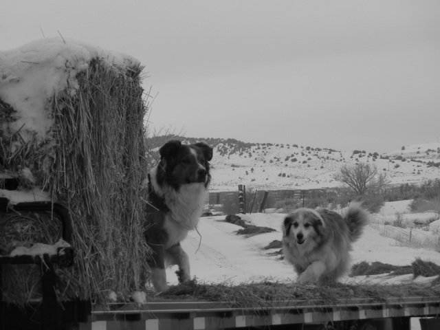 haydogs