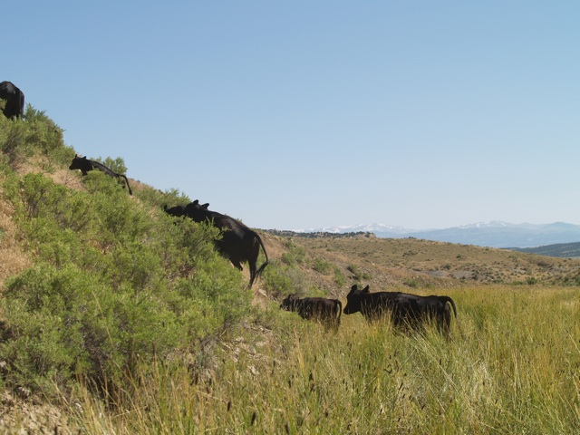 cowsup