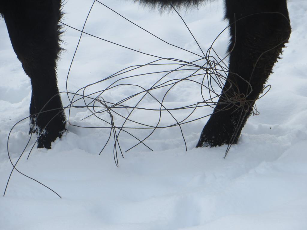 wire heifer 2
