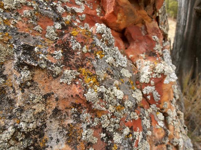 lichen1