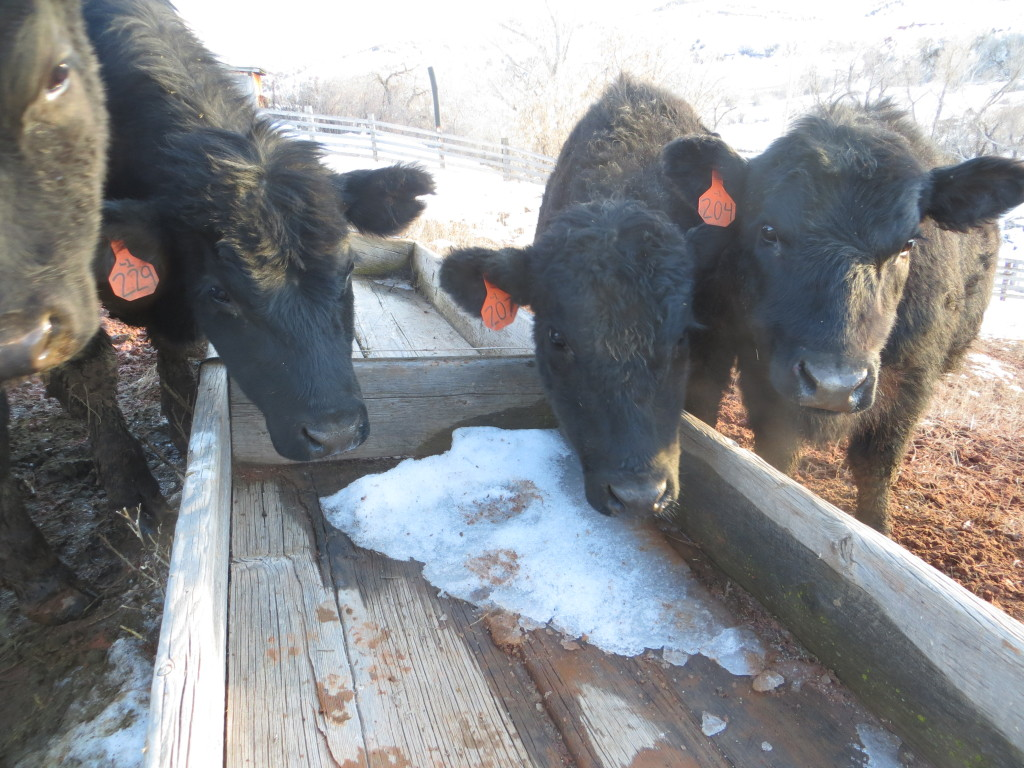 curious heifers