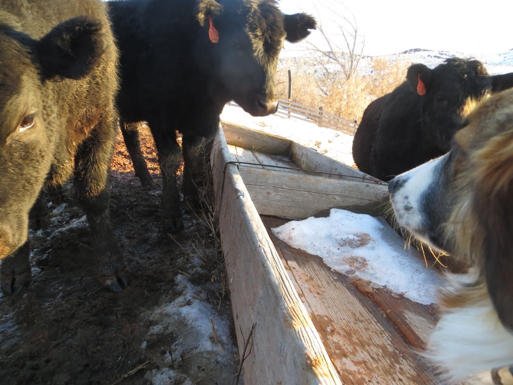 curious heifer 2