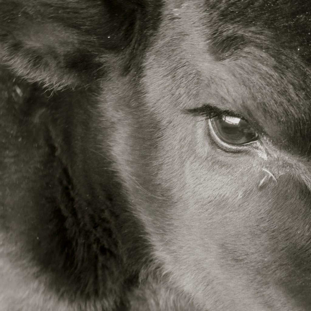 calf eye