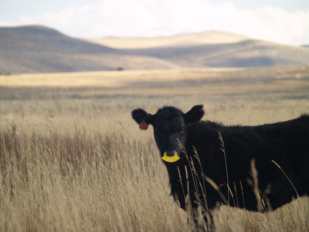 weaned calf