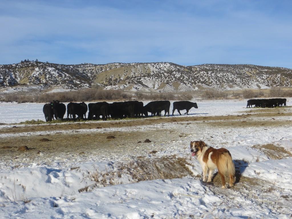 Eden cows