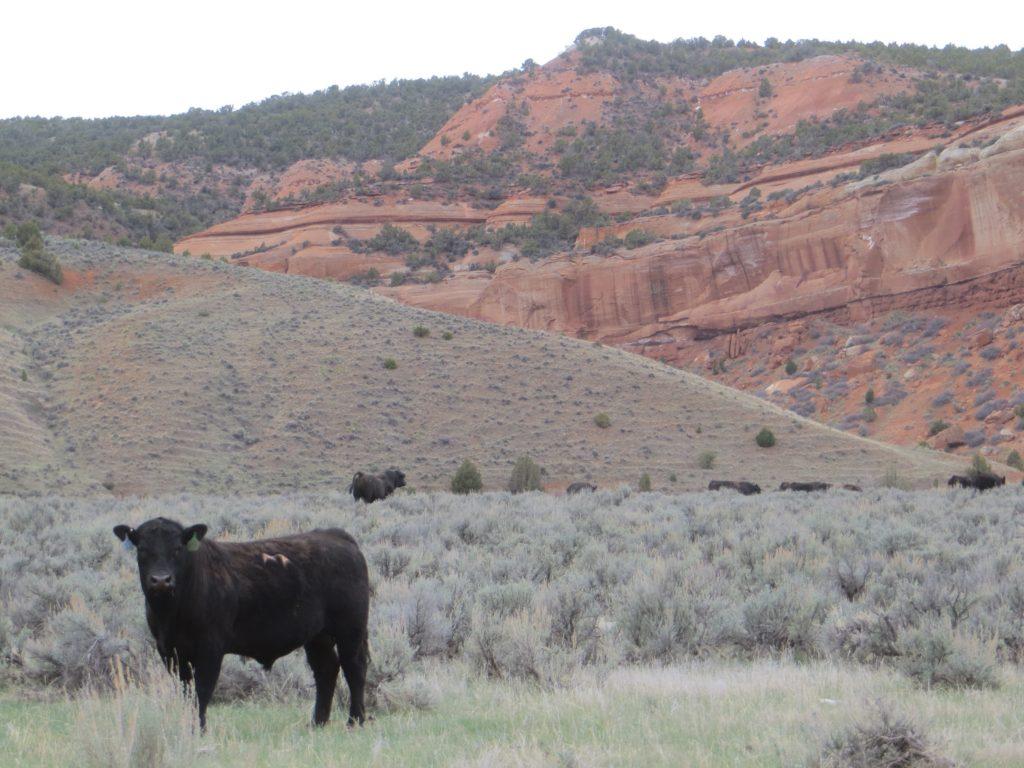 bull pasture