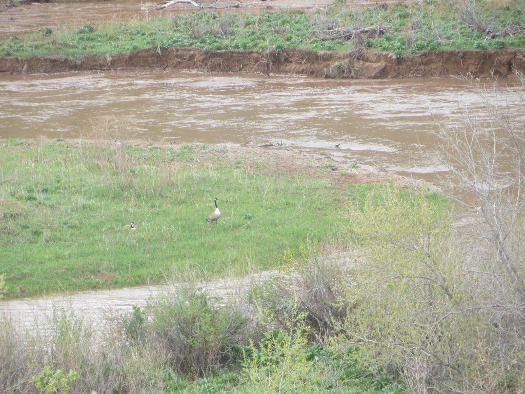 geese flood