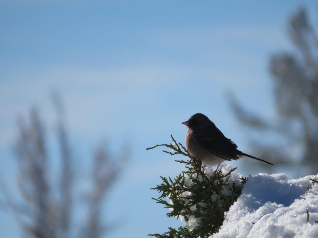 Snow(y) Bird