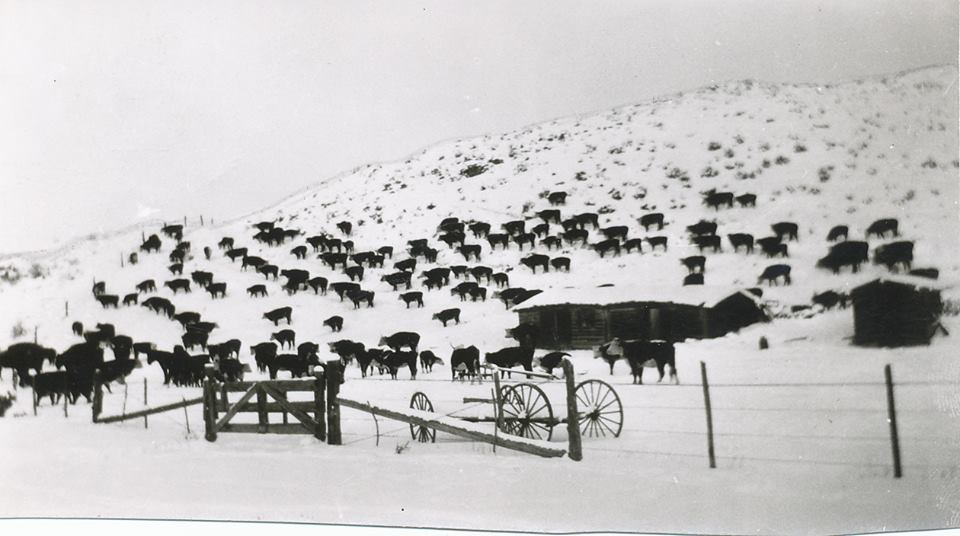 wintercows